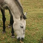 Head of a Gray Horse Grazing by rhamm