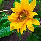 Moist sunflower by Arve Bettum