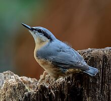Nuthatch - I by Peter Wiggerman