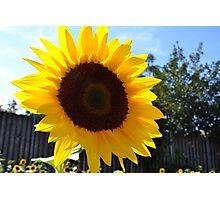 Sunbathing Sunflower - London Photographic Print