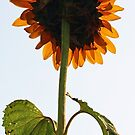 Sunflower - Facing a Grey Morning Sky by T.J. Martin