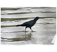 Crow Walking on Wet Sand Poster