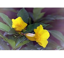 Yellow trumpet flowers Photographic Print
