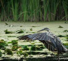 The Stalking Great Blue 3 by KatMagic Photography