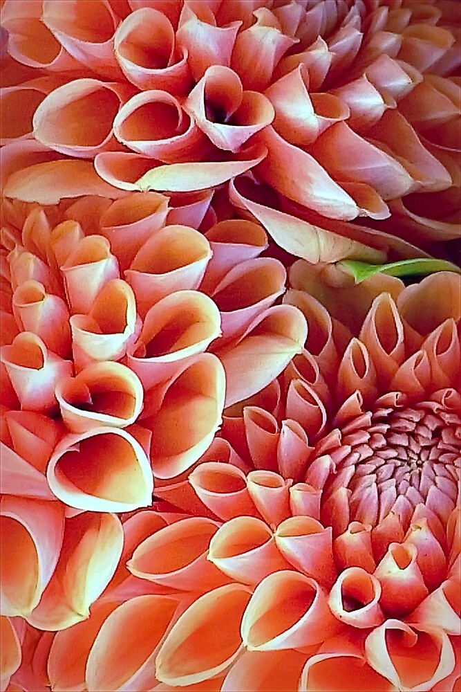 A Dalliance of Dahlias by paintingsheep