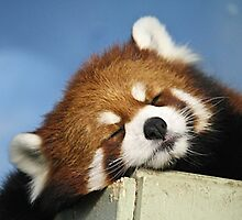 Red Panda Nap! by Rose Landry