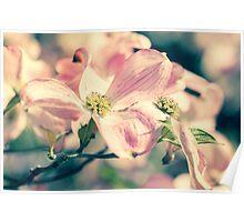 Flowering Dogwood in Spring Poster