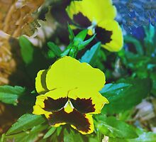Colorful pansy dance by ♥⊱ B. Randi Bailey