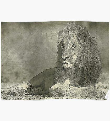 Sketch pencil portrait lion Poster