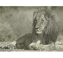 Sketch pencil portrait lion Photographic Print