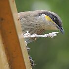 Singing Honeyeater - Lichenostomus virescens  by Dan & Emma Monceaux