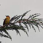 Golden Bellied Grosbeak on a Branch by rhamm