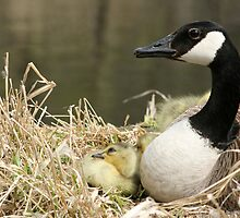 Canada Goose and One Gosling Watching by rhamm