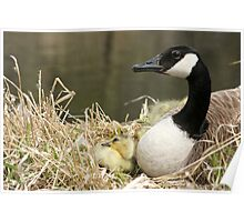 Canada Goose and One Gosling Watching Poster