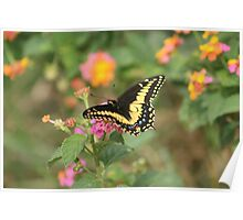 Butterfly on Yellow and Pink Flower Poster