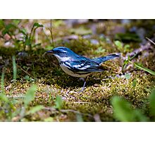 Cerulean Warbler Photographic Print