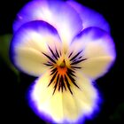 Purple & White Pansy by Sharon Woerner