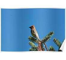Cedar Waxwing on a Spruce Tree Poster