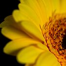 Sultry yellow gerbera in the dark by ruthjulia