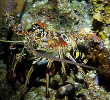 Caribbean Reef Lobster in Color by Amy McDaniel