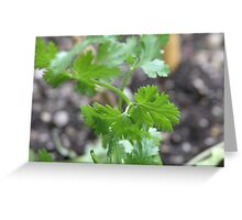 Italian Flat Leaf Parsley Greeting Card