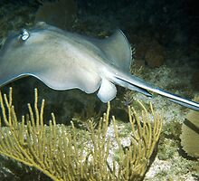 Stingray on a Night Dive by Amy McDaniel