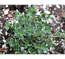 Thyme Photographic Print