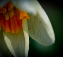 Yellow centred daffodil in the moonlight by ruthjulia