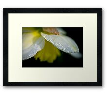 Dewdrops on daffodil in the dark Framed Print