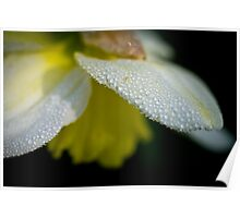 Dewdrops on daffodil in the dark Poster