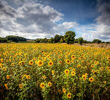 Sunflowers by Paul Richards