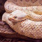 Western Rattlesnake by BGSPhoto