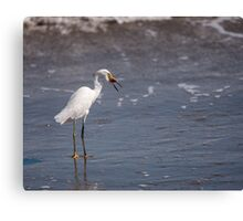 Egret with Sand Crab Canvas Print