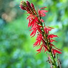 Cardinal Flower in its Glory by Anita Pollak