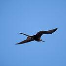 Male Frigatebird in Flight by Paul Wolf