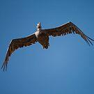 Pelican from Below by Paul Wolf