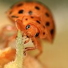 Mexican Bean Beetle (Epilachna varivestis) by Alex Ford