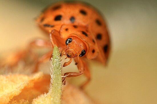 Mexican Bean Beetle (Epilachna varivestis) by Alex Ford