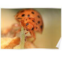 Mexican Bean Beetle (Epilachna varivestis) Poster