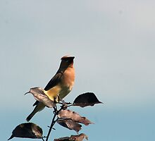 Cedar Waxwing Among Leaves by rhamm