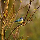 Blue Tit in Tree, Spring by Andy Merrett