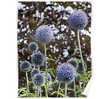 allium flower Poster