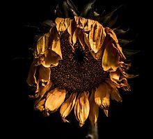 A tired sunflower by alan shapiro