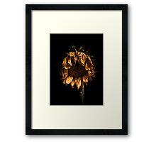 A tired sunflower Framed Print