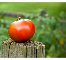 Garden Tomato Photographic Print