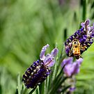 Lavender and Bee by Bami