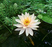 Waterlily by James Brotherton