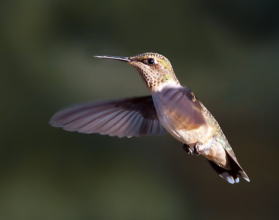 Hummer in My Backyard by Kenneth Keifer