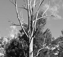 Old gum tree by Laura Sykes