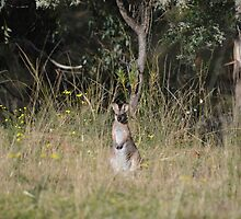 Wallaby by Laura Sykes